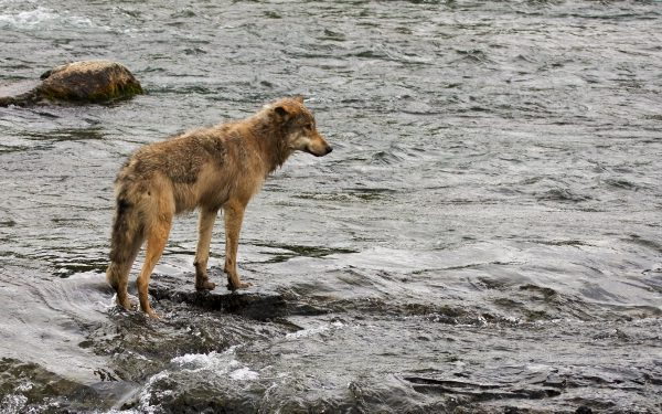 Alle skal med: Ulver fra hele utbredelsesområdet til arten Canis lupus er med i NTNU Vitenskapsmuseet sitt DNA-prosjekt. Her en ulv i Alaska. Foto: Blackburn Photo (CC BY 2.0)